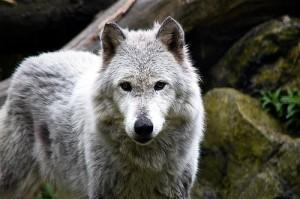 Canis lupus occidentalis (source : vschneid, 2013, via Flickr)