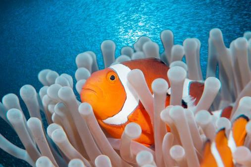 Clownfish (crédits : Gerald Nowak, via news.nationalgeographic.com)